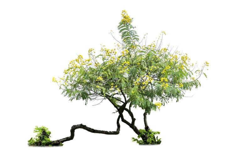 Дерево Tabebuia изолированное на белой предпосылке, Br argentea Tabebuia стоковые изображения rf