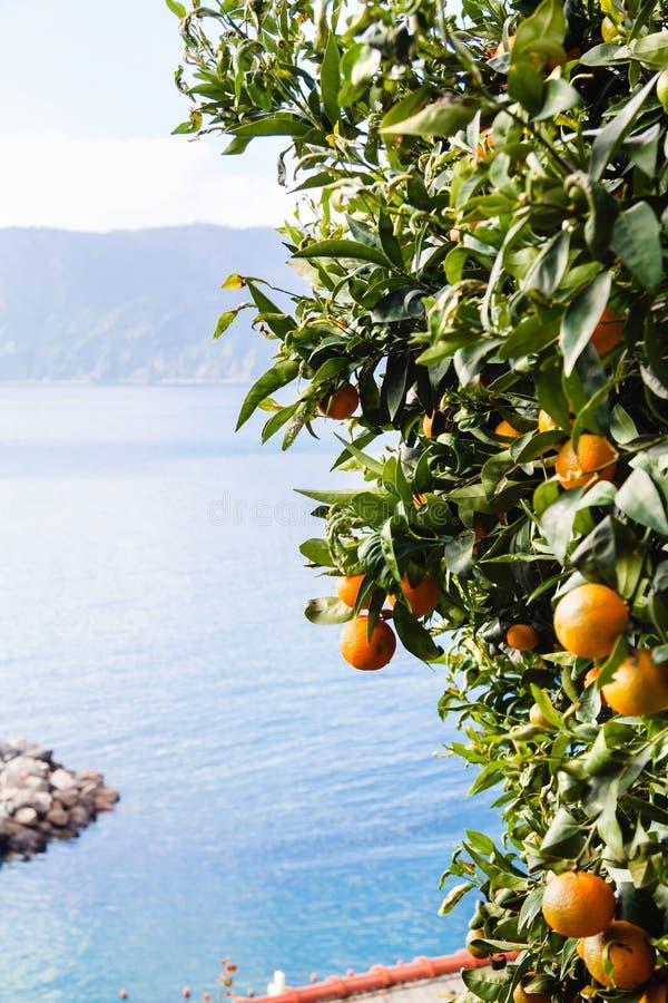 Дерево Tangerine на seashore Лигурии, Италии стоковые изображения rf