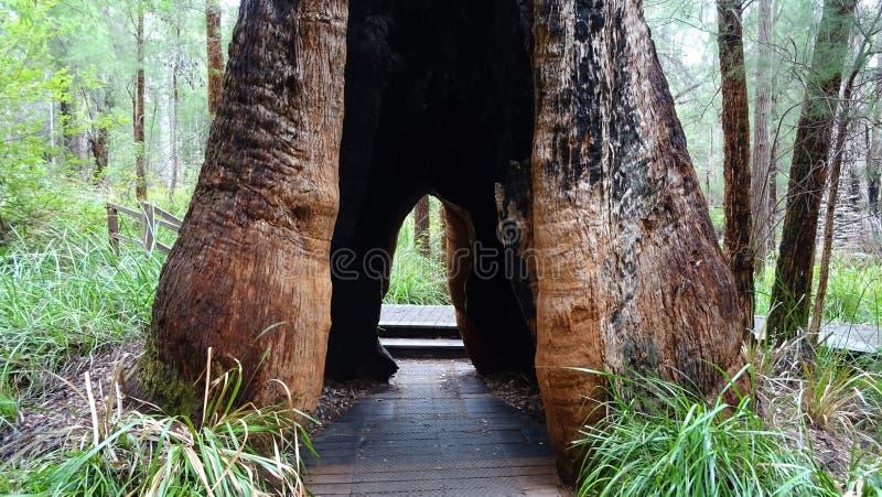Дерево tingle около дерева покрывает дорожка на Walpole западной Австралии в осени стоковые изображения rf