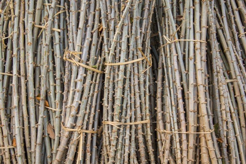 Деревце кассавы стоковая фотография rf