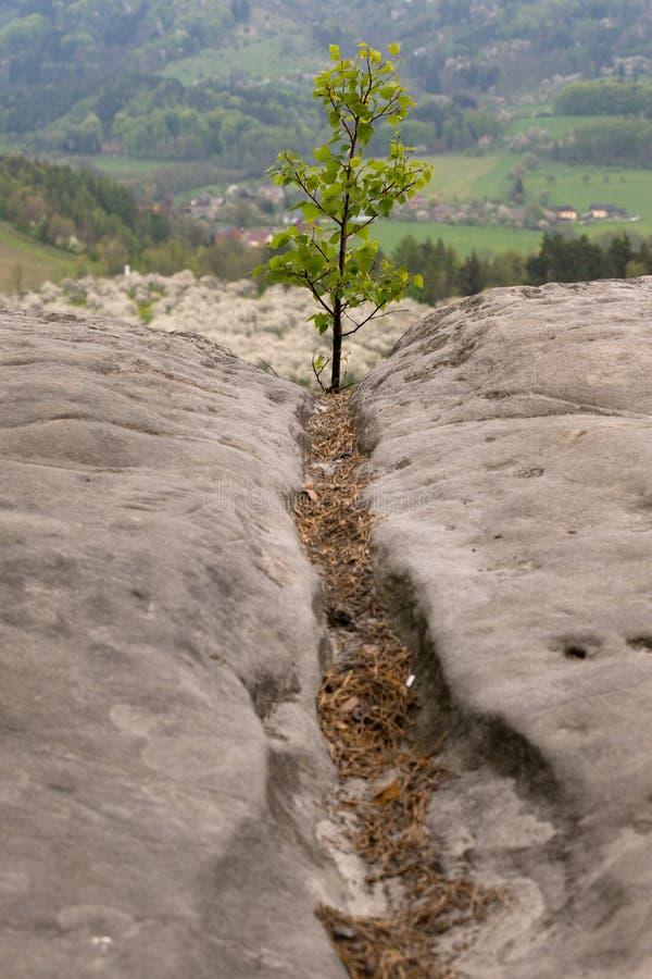 Деревце на утесе стоковые фотографии rf