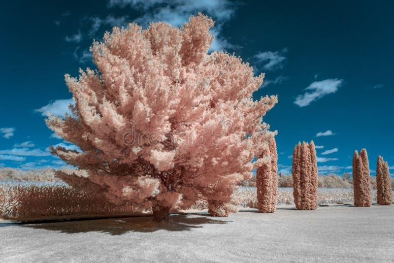 Деревья белой сосны и кедра в ультракрасном цвете стоковые изображения rf