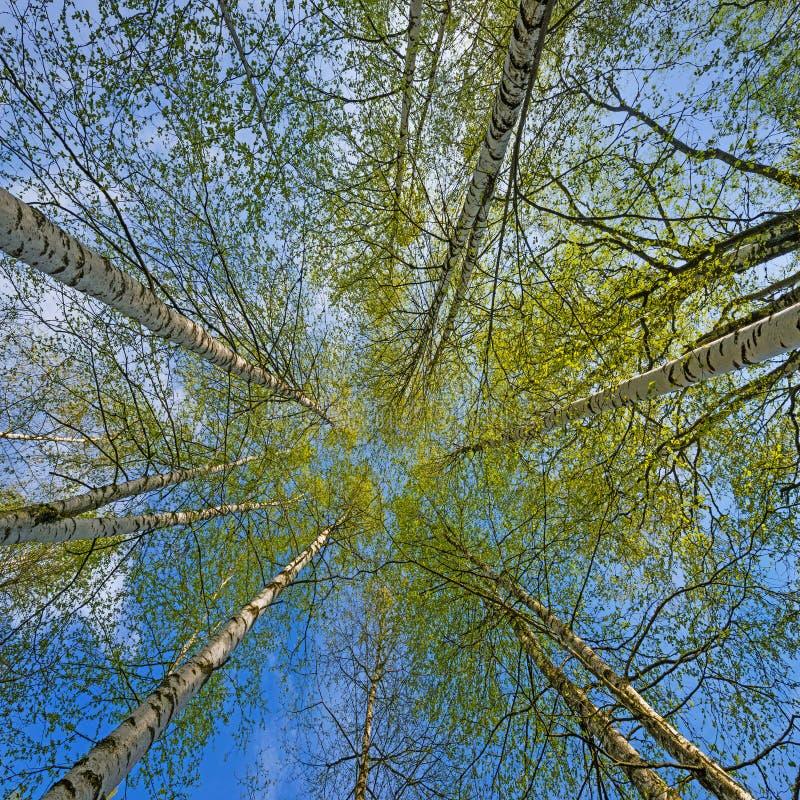 Download Деревья березы весны стоковое изображение. изображение насчитывающей green - 40581329