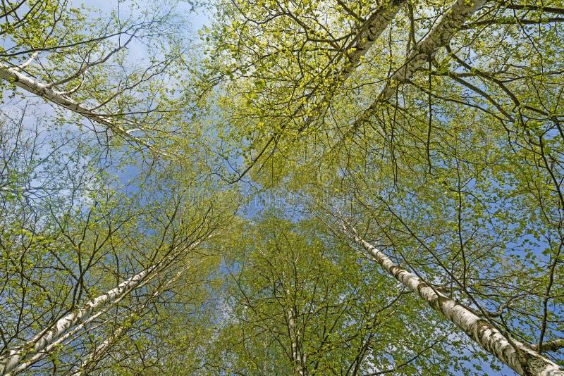 Download Деревья березы весны стоковое фото. изображение насчитывающей environment - 40581348