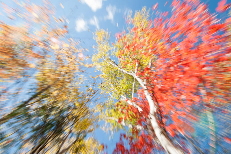 Деревья березы в падении, Мейн стоковое фото