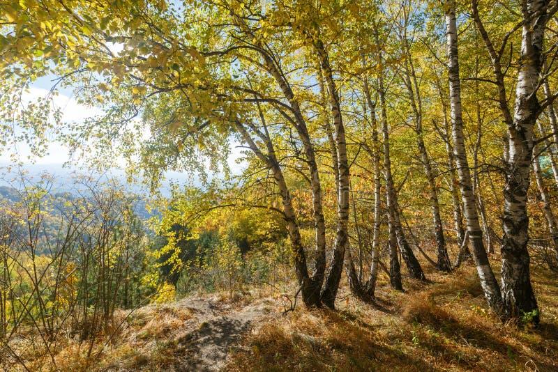 Деревья березы с желтыми листьями растут на краю скалы Ландшафт как пример русской осени стоковое изображение rf