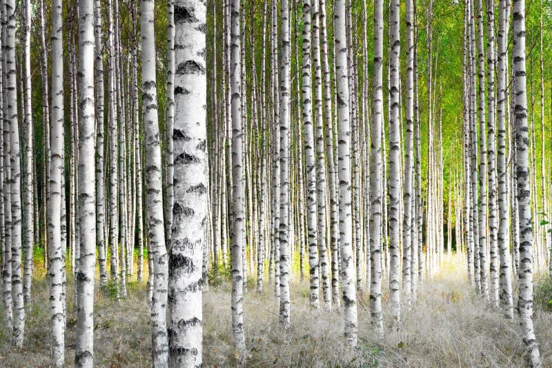 Деревья березы стоковое фото rf