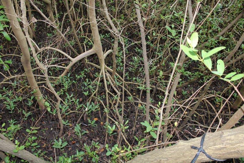 Деревья болота растя в brackish воде стоковое фото rf
