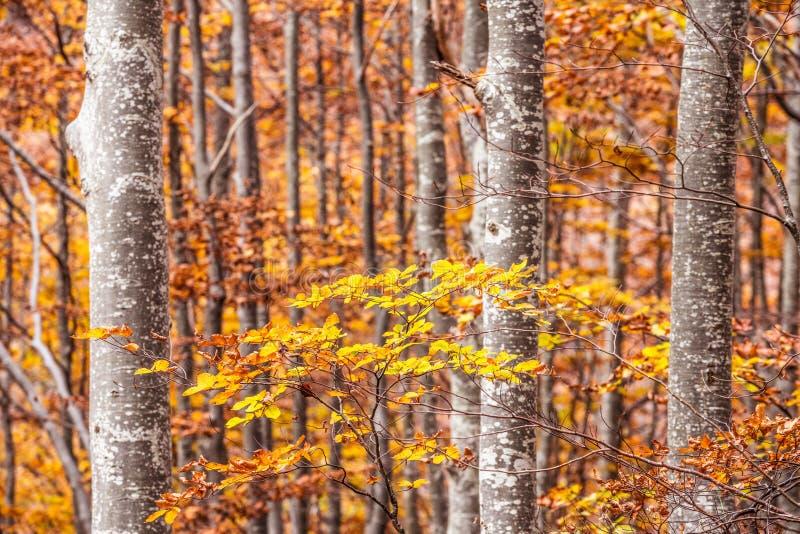 Деревья бука в осени, эмилия-Романья стоковая фотография rf