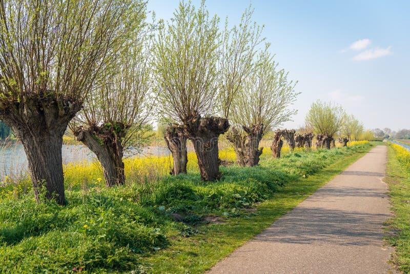 Деревья вербы Полларда в ряд стоковое изображение