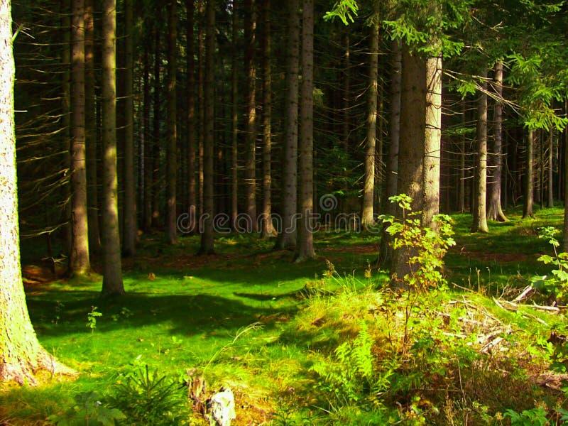 Деревья в зеленом лесе стоковые изображения rf