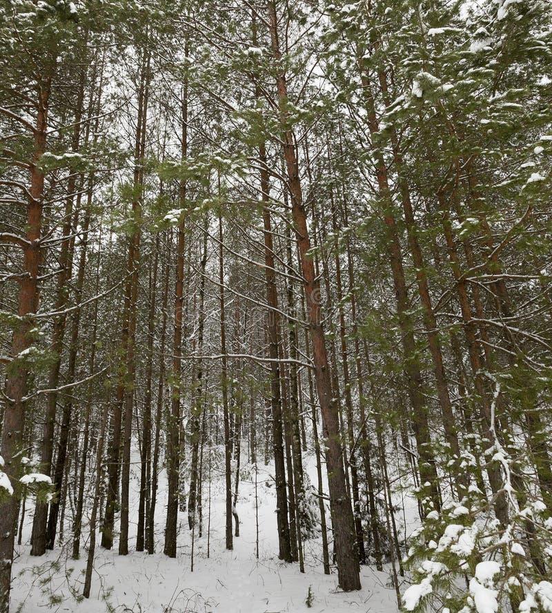 Деревья в лесе в зиме стоковая фотография rf