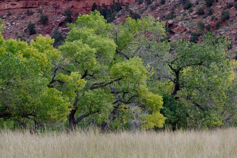 Деревья в переходе, след хлопока наблюдателя, национальный парк Сиона, Юта стоковые изображения