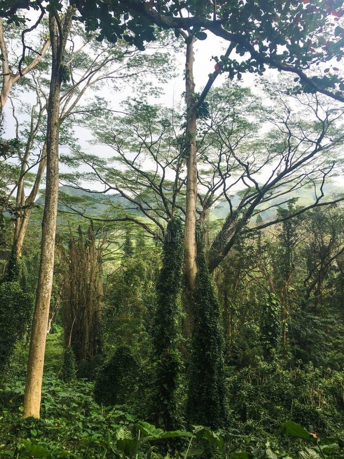 Деревья в тропическом тропическом лесе стоковые фотографии rf