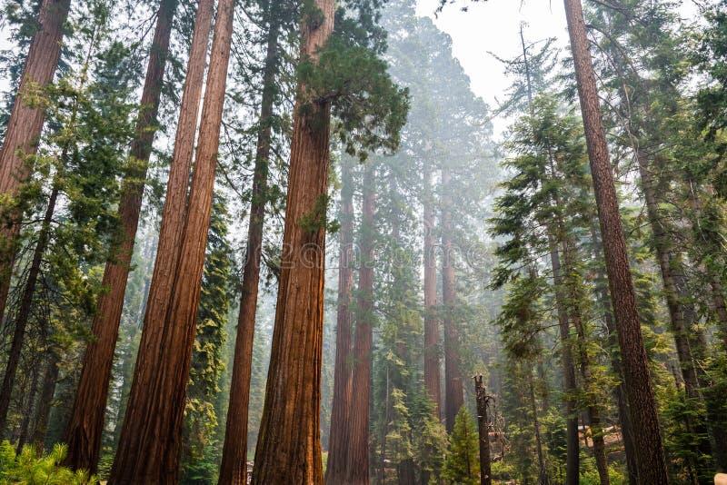 Деревья гигантской секвойи в роще Mariposa, национальном парке Yosemite стоковое фото