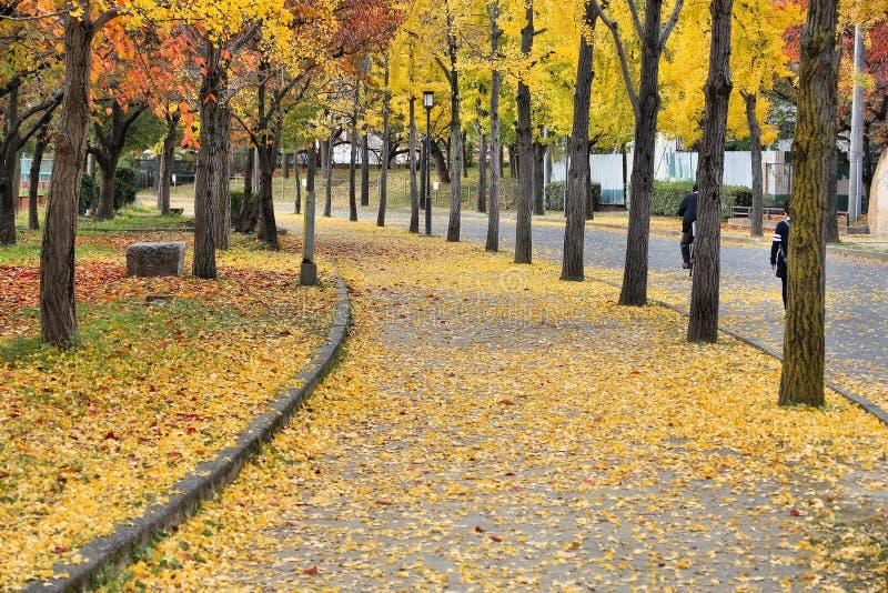 Деревья гинкго, Осака стоковые фотографии rf
