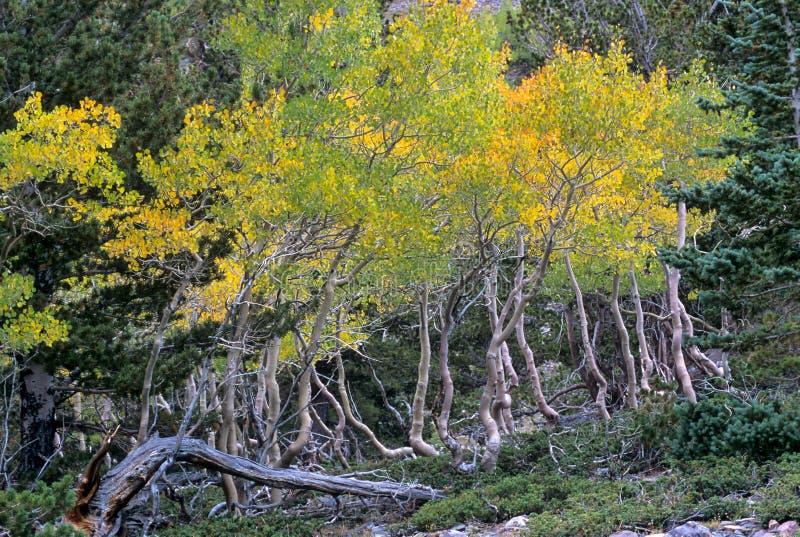 Деревья дрожа Aspen с переплетенными хоботами в большом соотечественнике таза стоковые изображения
