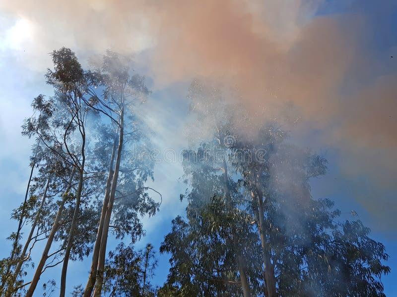 Деревья евкалипта в лесном пожаре в Португалии стоковая фотография