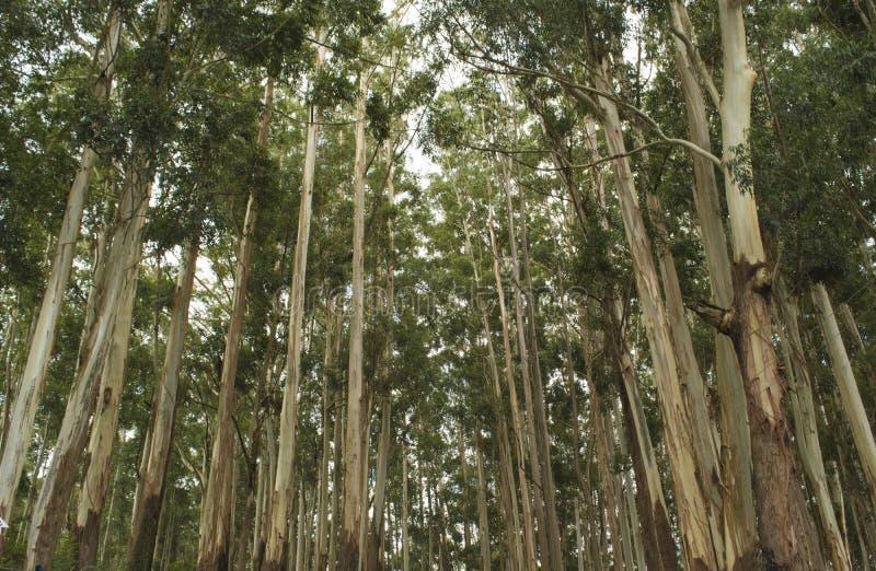 Деревья евкалипта стоковая фотография