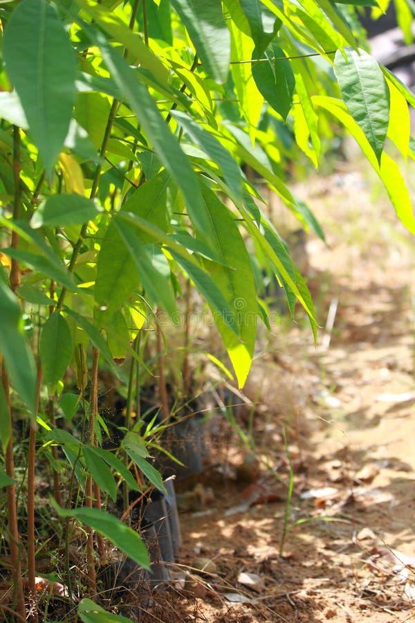 Деревья детенышей дуриана стоковое изображение
