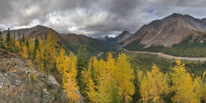 Деревья лиственницы поворачивая желтыми в лесе стоковое фото