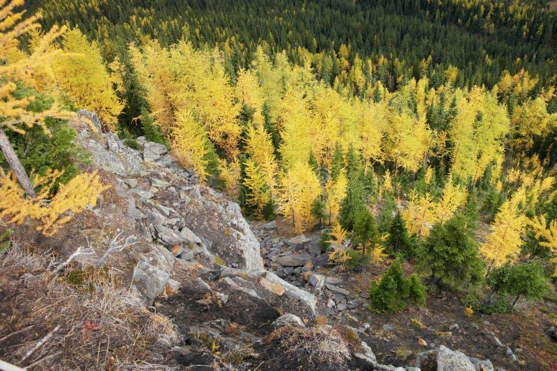 Деревья лиственницы для цвета осени стоковое фото rf
