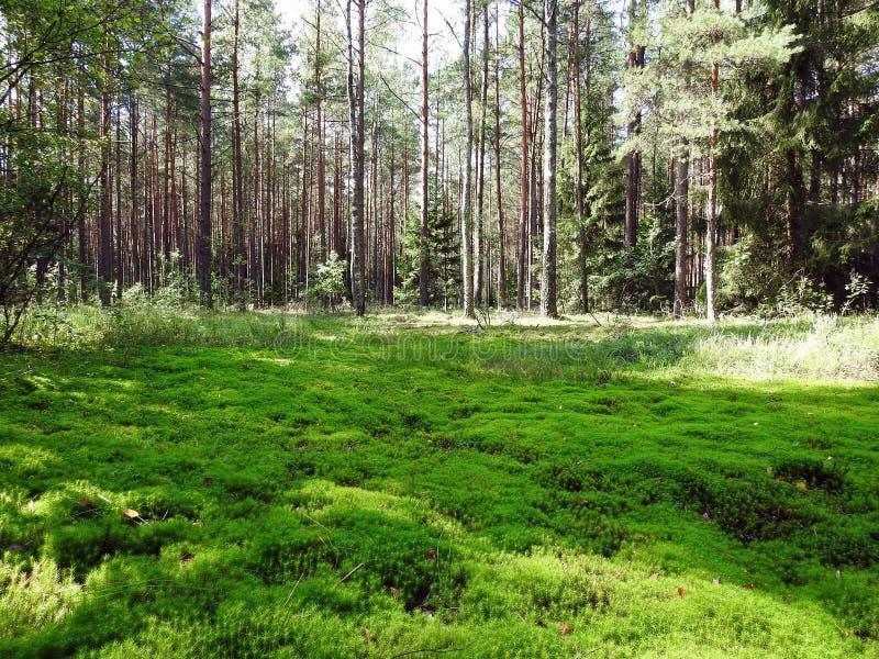 Деревья и зеленый мох в лесе, Литве стоковые фотографии rf