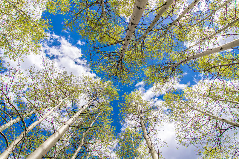 Деревья и облака Aspen стоковые изображения