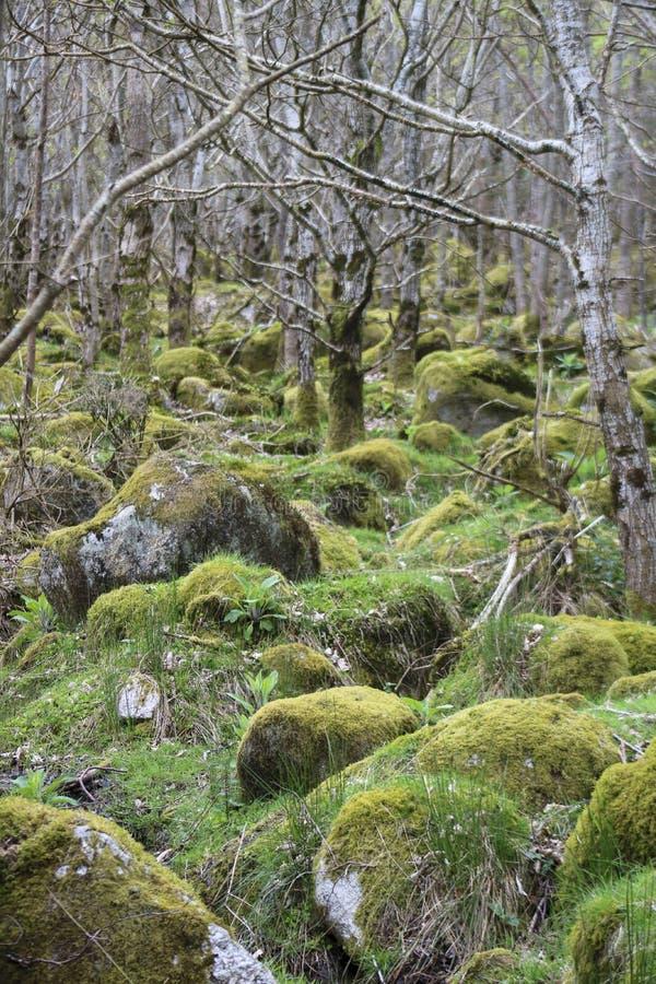 Деревья и огромные валуны в лесе Ирландии стоковое фото rf