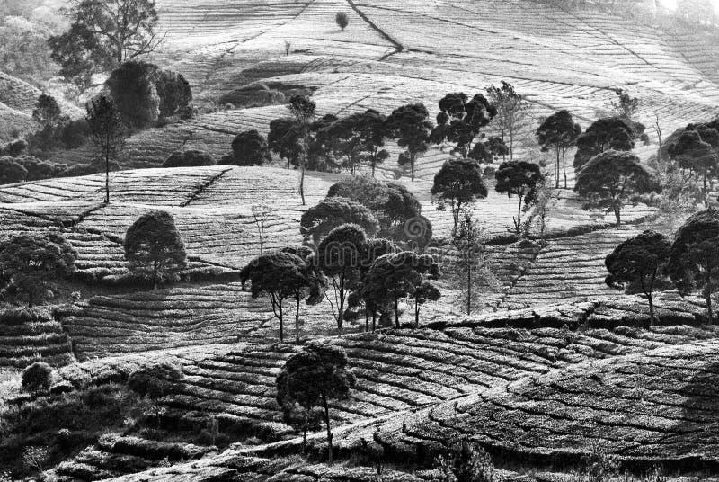 Деревья и плантации чая стоковые изображения rf