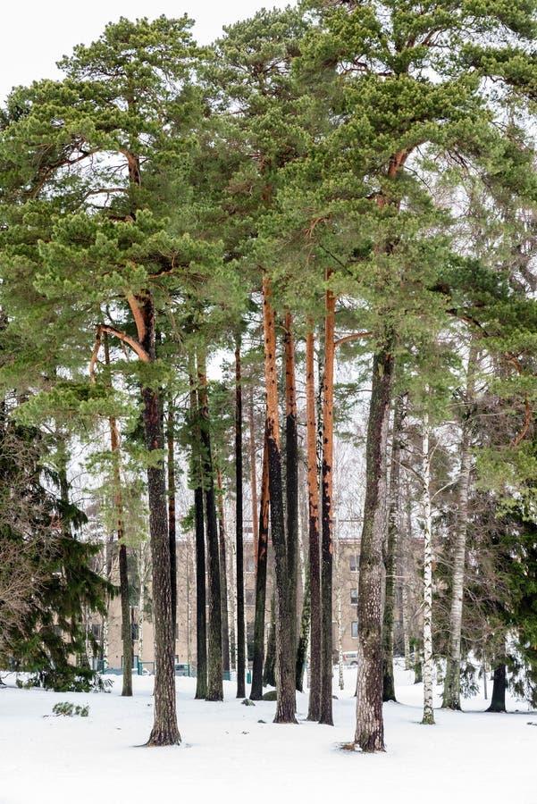 Деревья и снежок стоковые изображения rf