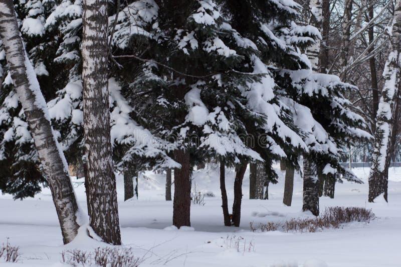 деревья и спрус березы в парке зимы стоковое фото