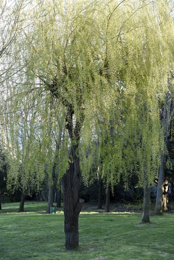 Деревья и трава вербы на парке стоковое изображение