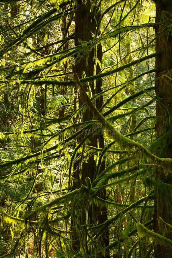 Деревья кедра Тихого океан северо-западного тропического леса и западного красного цвета стоковые фото
