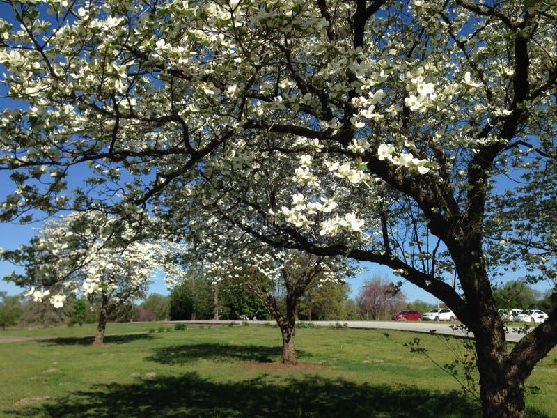 Деревья кизила Миссури в массиве цветений стоковое фото rf