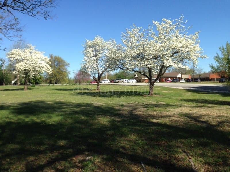 Деревья кизила Миссури в массиве цветений стоковое изображение