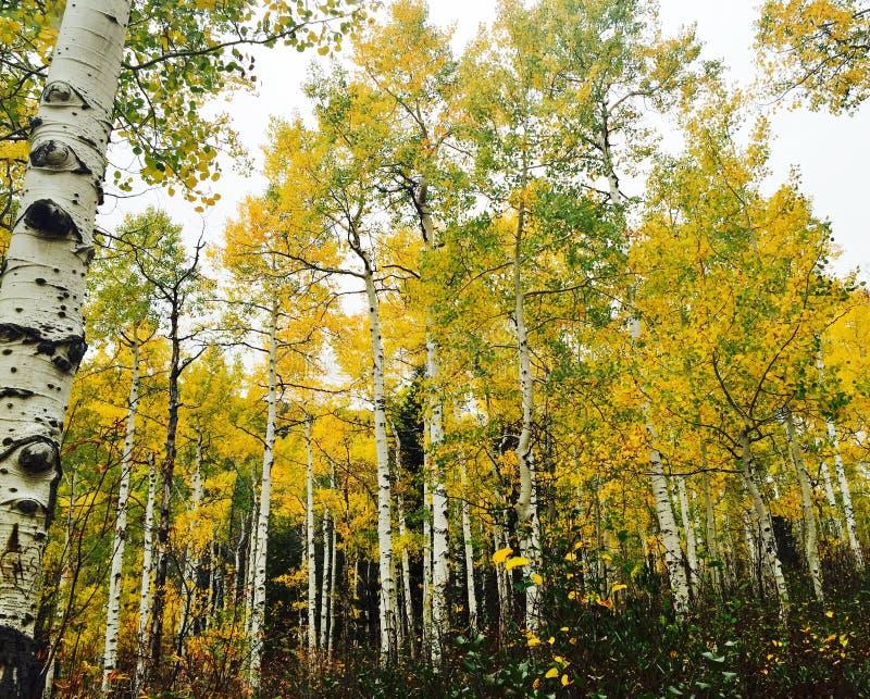 Деревья Колорадо Aspen осенью стоковые изображения