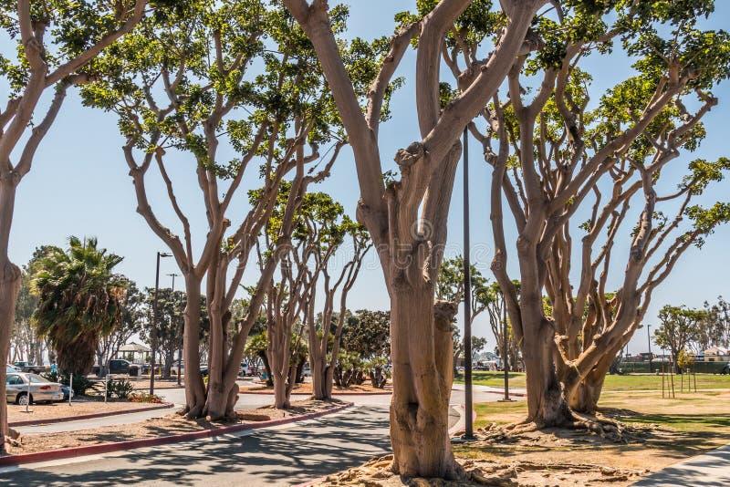 Деревья коралла на парке Embarcadero южном в Сан-Диего стоковое изображение rf