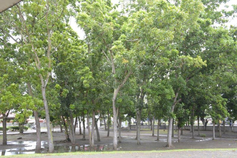 Деревья, который выросли перед захолустными землями капитолия, Matti, город Digos, Davao del Sur, Филиппины стоковые изображения rf