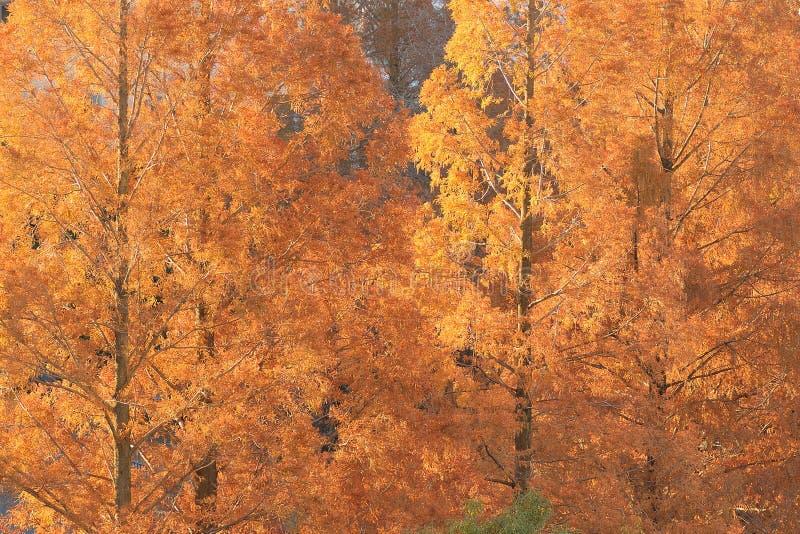 Деревья лиственницы Брайна предпосылки осени стоковое изображение rf