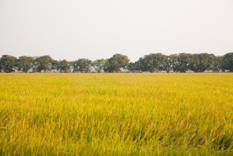 Деревья мангоа в полях риса. стоковые изображения