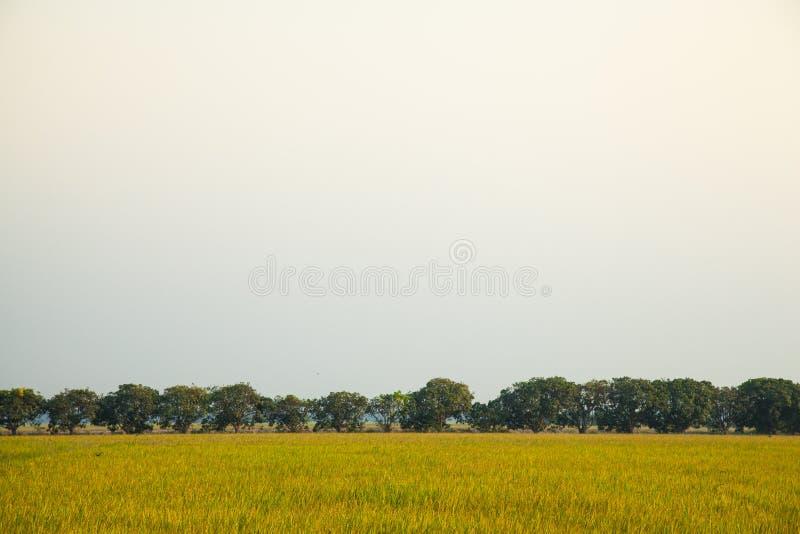 Деревья мангоа в полях риса. стоковое фото rf