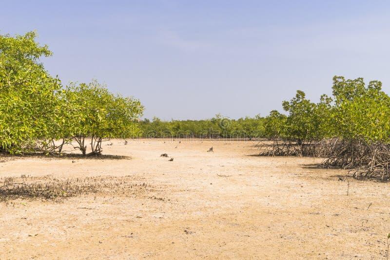 Деревья мангров стоковые фотографии rf