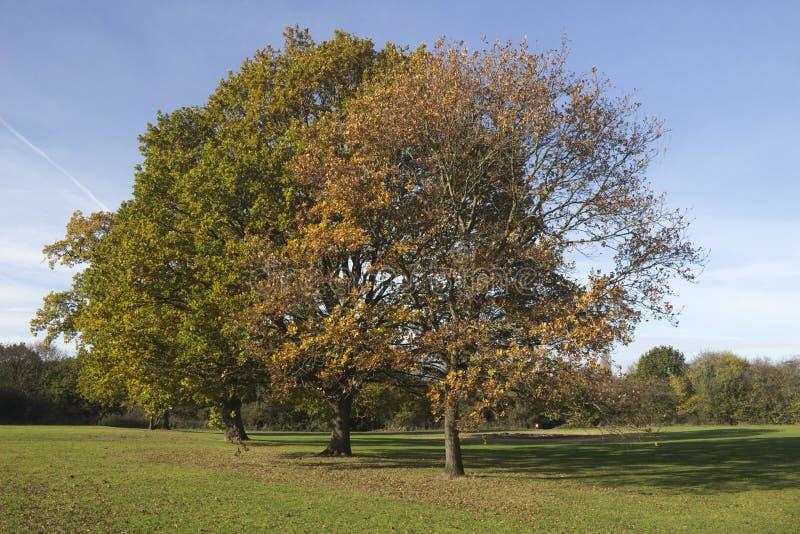 Деревья осени в парке Wickford мемориальном, Essex, Англии стоковое фото rf