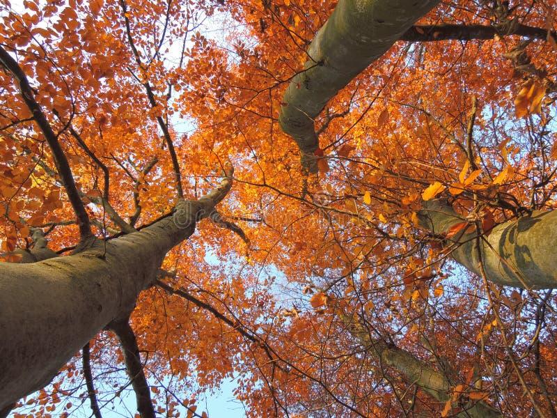 Деревья осени (дно вверх по взгляду) стоковое изображение rf