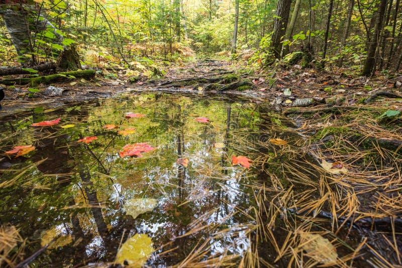 Деревья осени отражены в малой лужице леса стоковые изображения rf