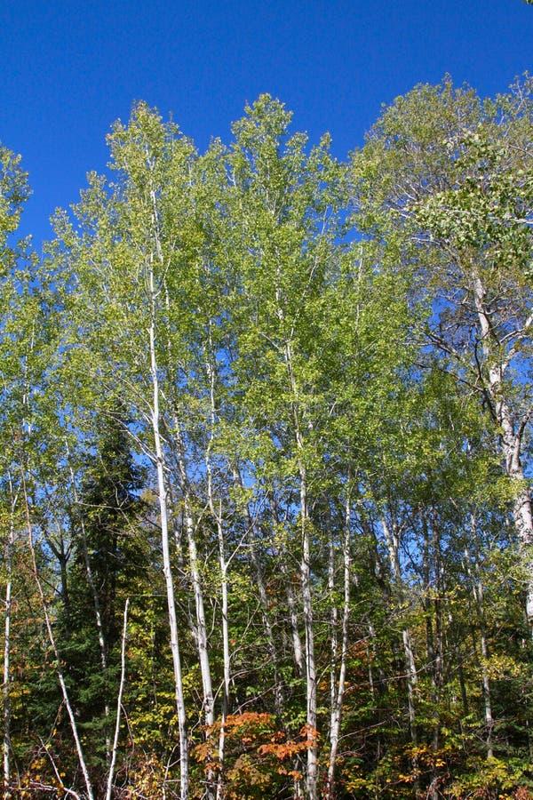 Деревья осины падения стоковая фотография rf