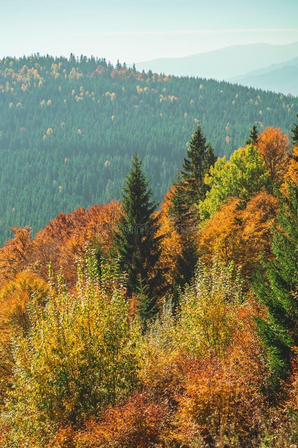 Деревья, покрытые с листьями желтых и шарлаха, на которых падения греют светлые горы Прикарпатско, Украин Сцена деревни осени стоковые фото