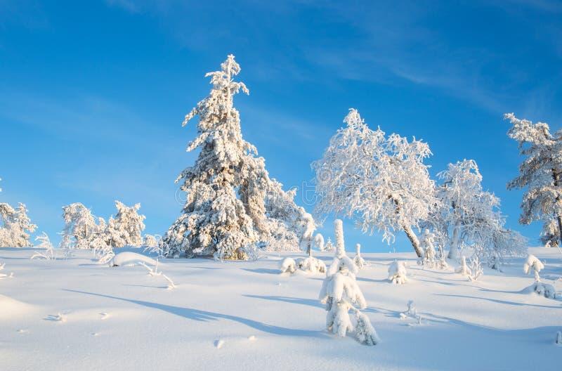 Деревья покрытые с снегом в солнечном дне с ясным голубым небом в Lapl стоковые изображения