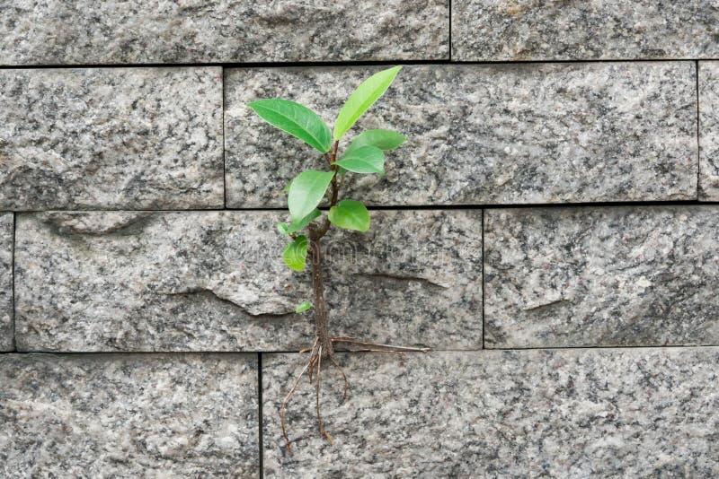 Деревья растя выживание на стене стоковые изображения